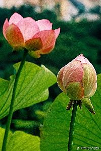 Nelumbo nucifera - Lótus -  planta aquática repleta de significados religiosos e míticos. Suas folhas são grandes, arredondadas e levemente onduladas em direção as bordas. O pecíolo é longo, espinhento e eleva as folhas acima da superfície da água. As flores, formadas no verão podem ser brancas ou róseas. Pode ser cultivada em lagos, tanques e espelhos de água, sempre a pleno sol. Convive com peixes.