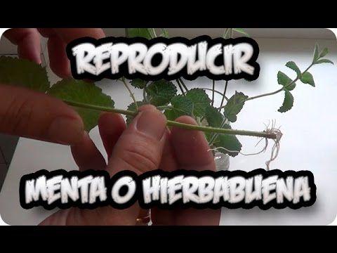 Como Reproducir Menta O Hierbabuena Por Esqueje Super Facil    La Huerti...
