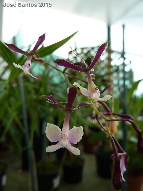 Epidendrum englerianum 'Akerne'