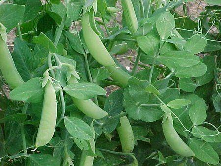 I piselli (Pisum sativum) sono delle leguminose non facilissime da coltivare; questo per diversi motivi: necessitano di molte cure