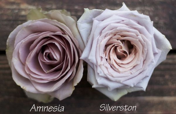 Color Study of Lavender and Purple Roses by Harvest Roses - http://www.harvestwholesale.com - Amnesia & Silverston.