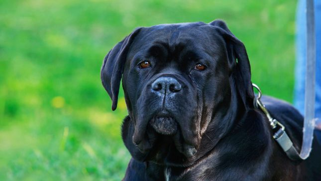 Originating In Italy And Bred As Guard Dogs Cane Corso Are Described By The Akc As Peerless Protectors They Are Among The Bigg In 2020 Big Dog Breeds Big Dogs Dogs