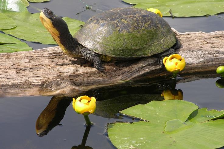 blandings turtle-frink centre-ontario by susan shipman