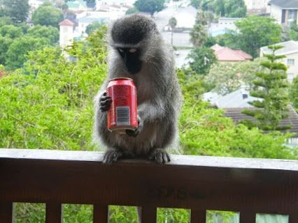 No you won't see lions walking down the street in South Africa BUT you will see monkeys at our volunteer house in Knysna!!!
