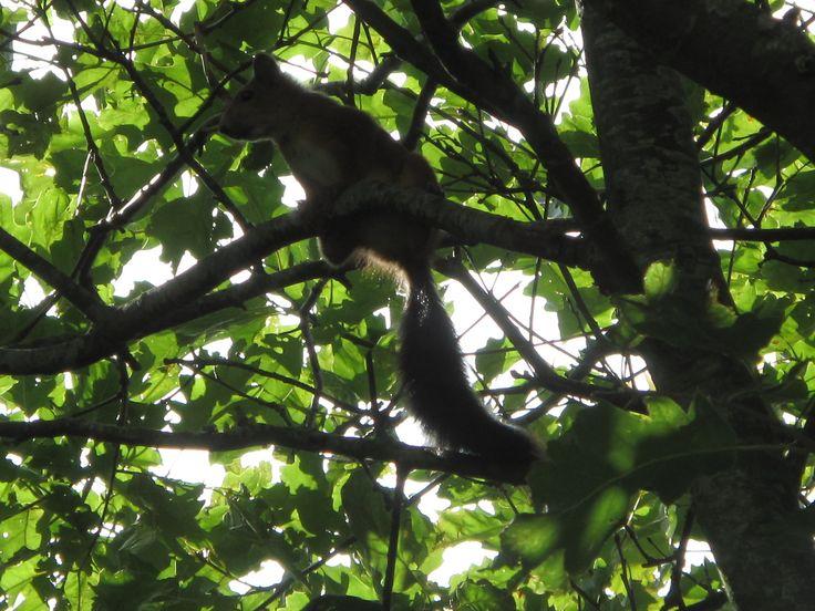 Egern i haven