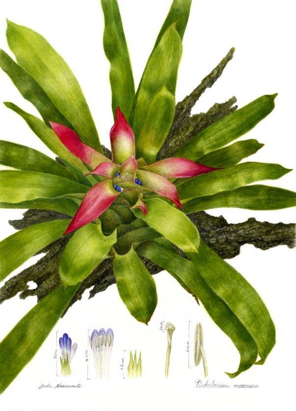 Plantas Brasileiras – a ilustração botânica de Dulce Nascimento