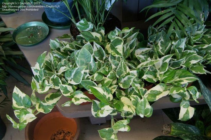 21 Best Epipremnum Scindapsus Pothos Images On Pinterest Houseplants Indoor House Plants