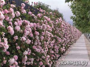 Живая изгородь из шиповника – красивая защита - живая изгородь, забор из кустарника, шиповник, сорта шиповника для изгороди