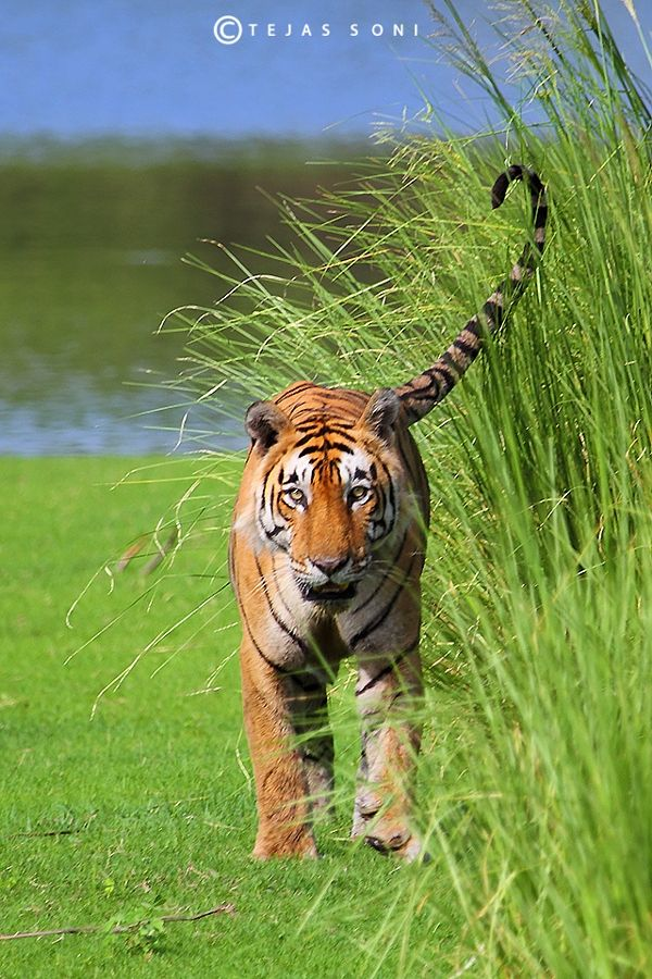 royal bengal tiger by Tejas Soni - Photo 178574143 / 500px