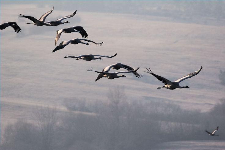 Les ailes déployées de la grue cendrée depuis les observatoires d'Arjuzanx. #grue #ecotourisme