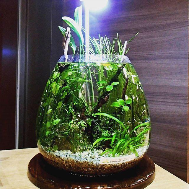 【sono_aqua_pfm】さんのInstagramをピンしています。 《作品『Oval-BAQ』 現時点で設置後6カ月経過熱帯魚が泳ぎ、エビが繁殖してます✨フィルターもエアーレーションもないのに、なぜ維持できるのか?水草の光合成が酸素を供給し、水草や底床バクテリアが水を浄化します✨ボトルの中に小さな地球を再現するのです #SONOアクアプランツファーム #BottleAquarium #ボトルアクアリウム #水草 #aquaplants #aquarium #aquaticplants #水草レイアウト#熱帯魚 #plants #テラリウム #アクアリウム #グリーン #インテリア #睡蓮 #睡蓮鉢 #ガーデニング #水族館 #メダカ鉢 #メダカ #カフェ#グリーンのある暮らし #ミニビオトープ #バランスドアクアリウム #balanced aquarium》