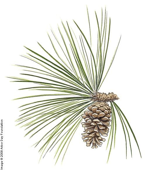 Longleaf Pine on the Tree Guide at arborday.org