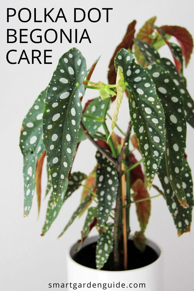 Begonia Maculata Care How To Grow Polka Dot Begonia In 2020