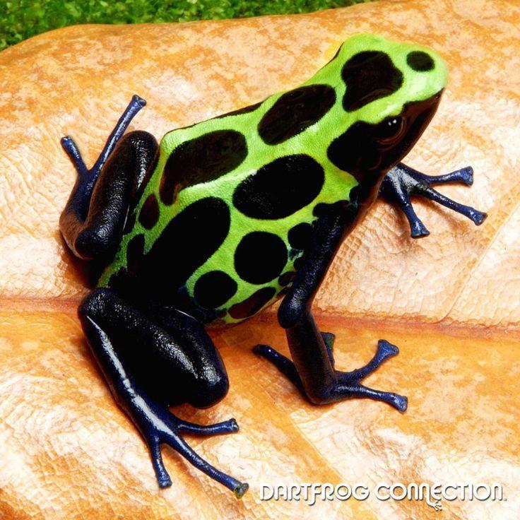 Dendrobates Tinctorius Green Sipaliwini, #amphibiaAmphibians ...