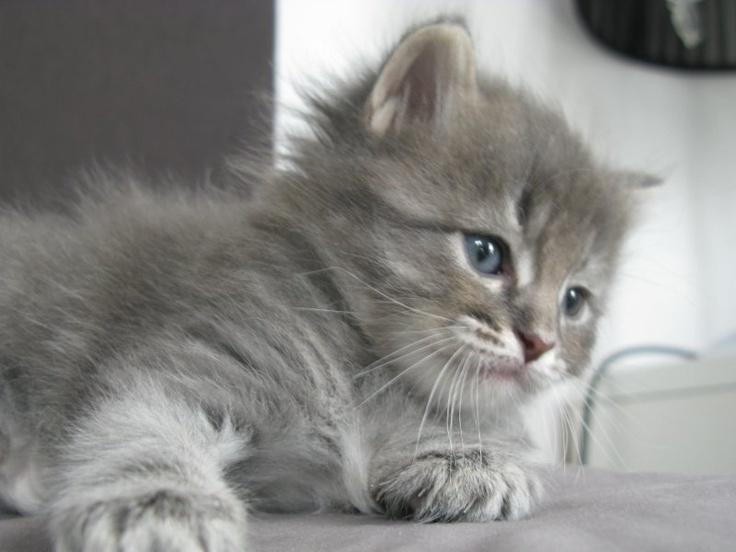 Siberische kitten