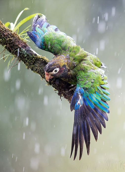 Brown-hooded Parrot!