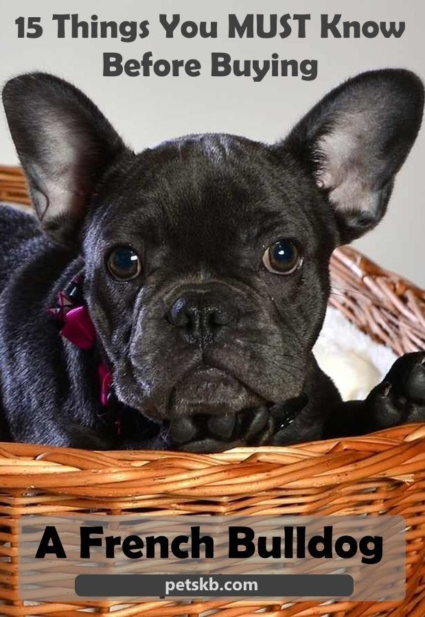 The French Bulldog Is One Of The Most Popular Dog Breeds In The