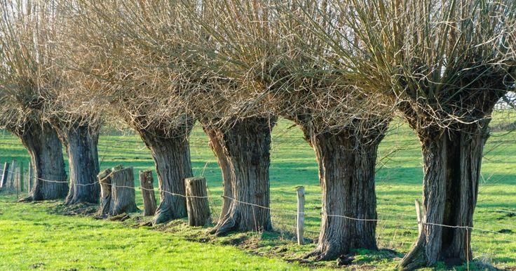 Kopfweiden sind schön anzusehen und besitzen einen hohen ökologischen Wert. So können Sie in Ihrem Garten zum Nulltarif eine Kopfweide ansiedeln.