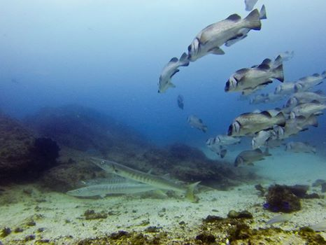 These Giant Barracuda have been hanging around at Julian Rocks for the last week. Blue Bay Divers Byron Bay