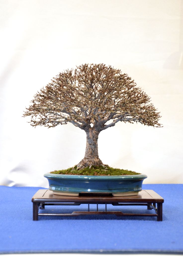 1000 Ideas About Zelkova Bonsai On Pinterest Bonsai Forest