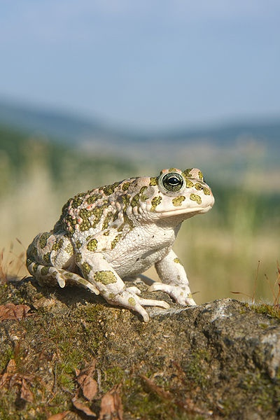 The European Green Toad is found in mainland Europe, it eats a variety of insects and invertebrates.  These toads will change colour in response to heat and light. Female toads are larger than males and can lay up to 15,000 eggs at a time.