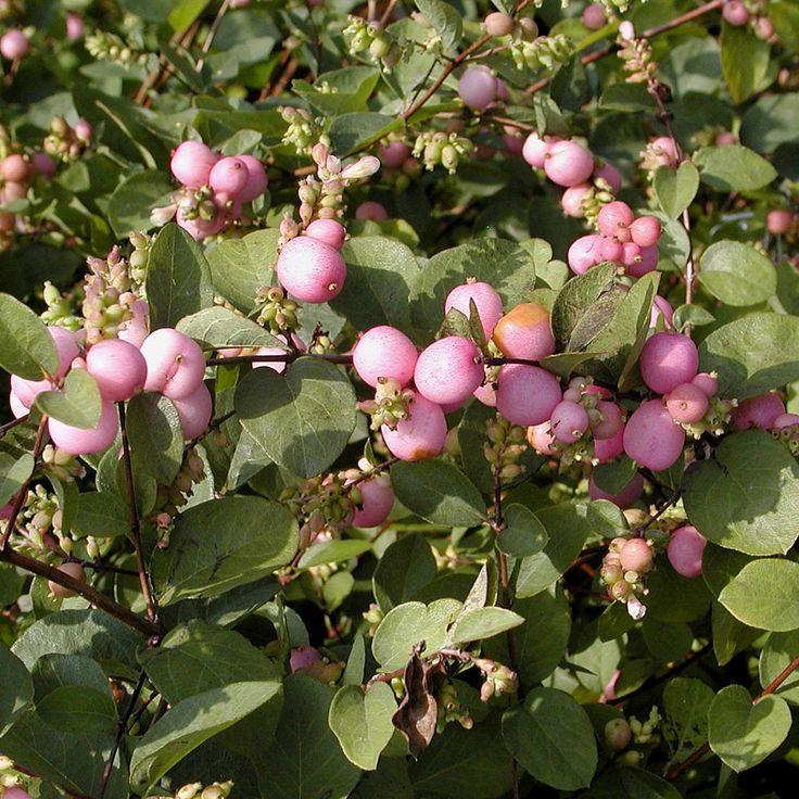 Лиственные кустарники Снежноягодник Мэджик Берри по разумной цене - Зеленый сад