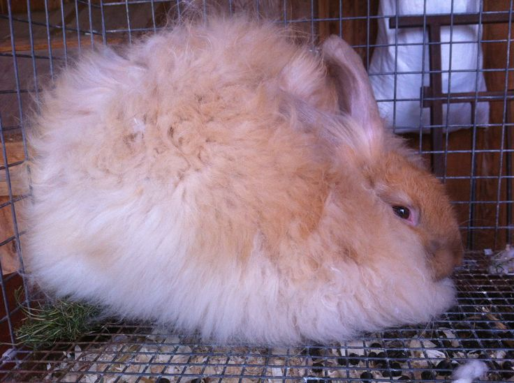 The fluffiest angora rabbit you ever did see!