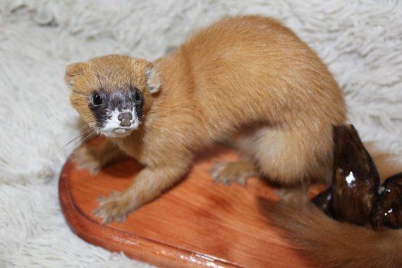 SIBERIAN WEASEL (KOLINSKY) TAXIDERMY ANIMAL MOUNT Life size It is real, professionally done taxidermy. Stand made of natural wood-cedar. Care: