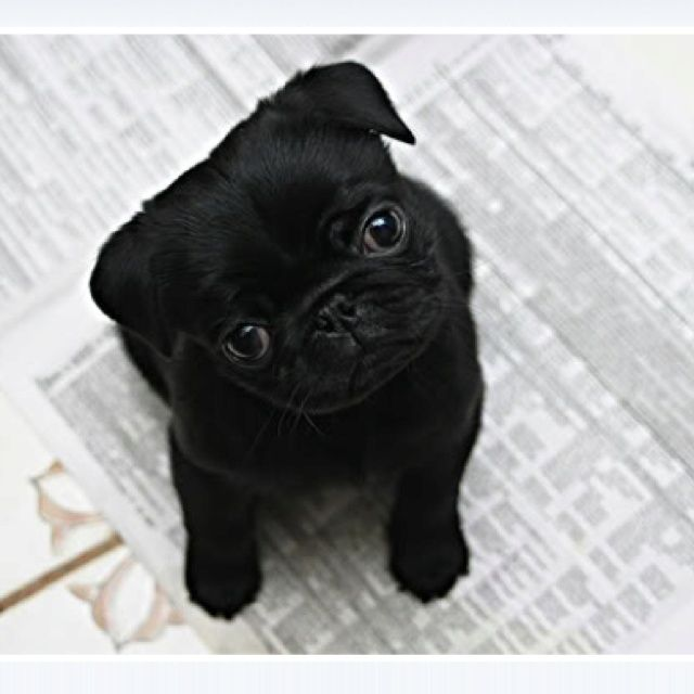 baby pugs tumblr - Google Search