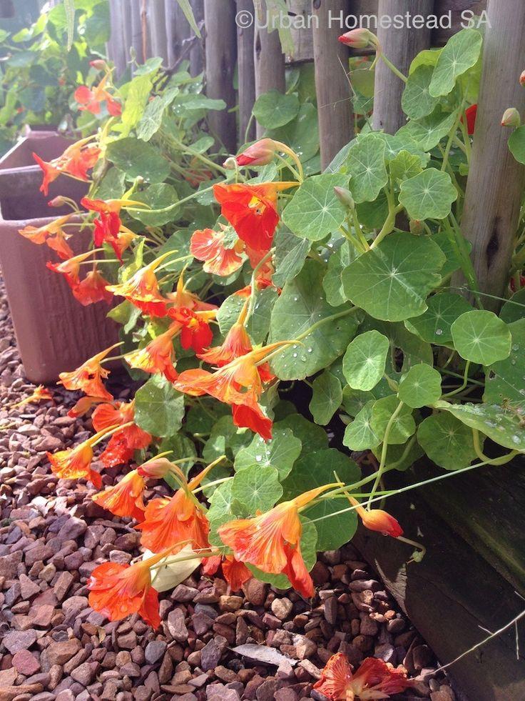 Beautiful nasturtiums - edible in salads or just to look beautiful.