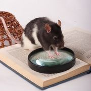 Rats are very intelligent animals and can be taught to do a varied amount of tricks; litter training being the most productive and advantageous for the pet's owner. This trick will save time when it comes to cleaning the cage because it will not have to be done as often. It additionally saves money because soiled bedding will not need to be...