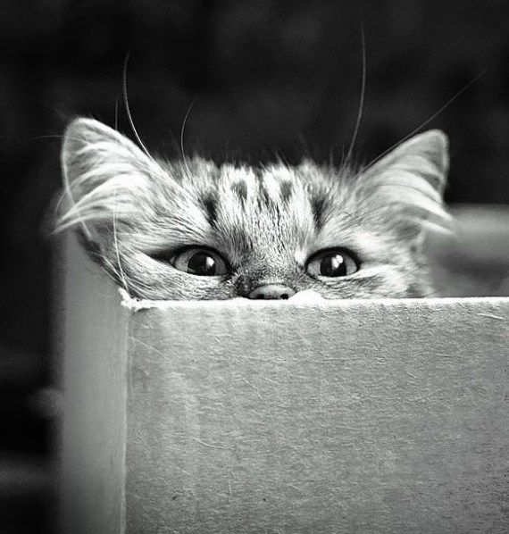 Cats in Boxes - b & w photo of a cute tabby kitten in a box (hva)