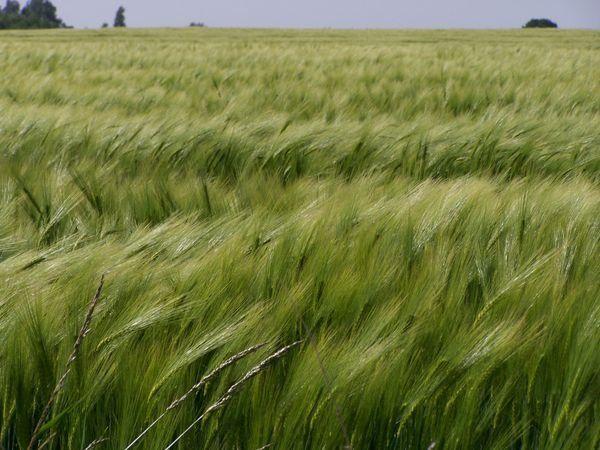 Wheat fields blowing in the wind