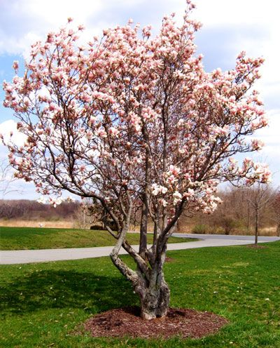 Best 25 dwarf trees ideas on pinterest dwarf flowering for Best dwarf trees for front yard