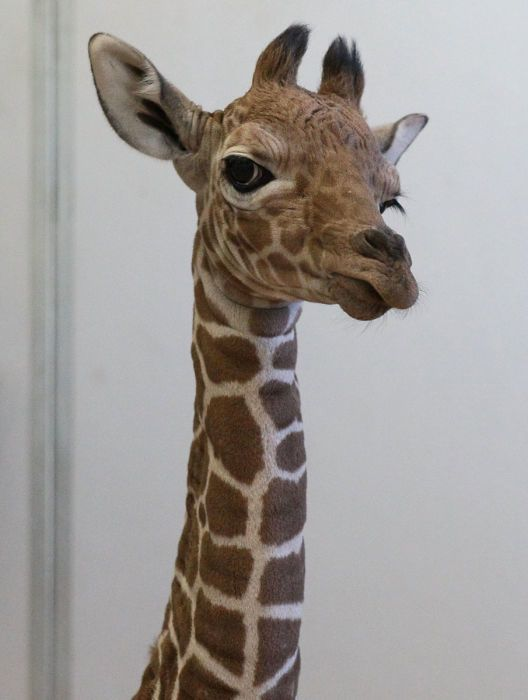 April the Giraffe's newborn baby calf.