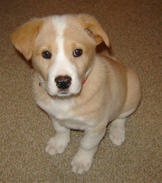 Corgidor puppy. Two adorable dogs bred into one!    Want this dog.