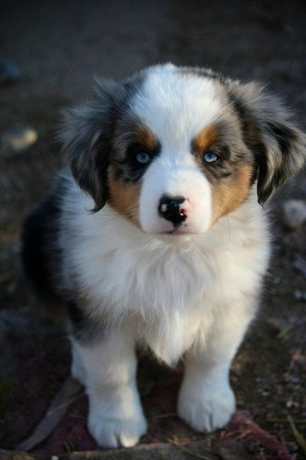 Mini Australian Shepherd.. This little guy is on my Christmas wish list!