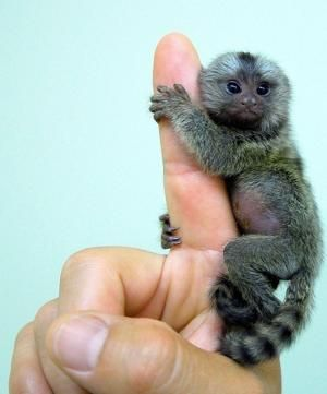 Baby pygmy marmoset! I am sure I had a toy one like that as a child that clipped onto my school bag, think they were called Chickadees or something like that...