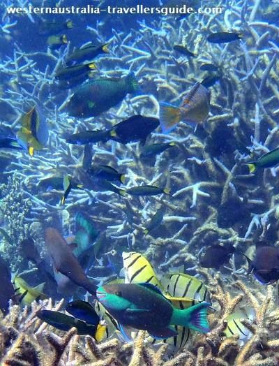 Tropical fish swarming over staghorn coral on the Ningaloo Reef. I dream of being back in Coral Bay!