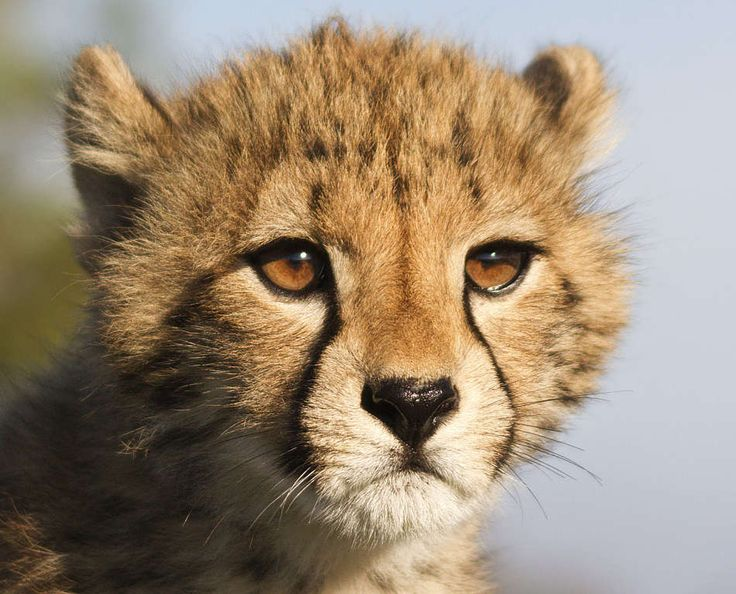 amazing photo of apprehensive young cheetah cub - probably about 3 1/2 months old and very serious...