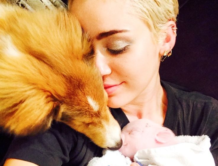 Miley Cyrus' New Pet Is a Cute Baby Piglet | CELEB NEWS ...