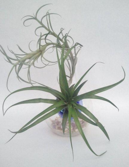 Brachycaulos Green and  Crocata giant Tillandsia by EDsAirplants, $35.00