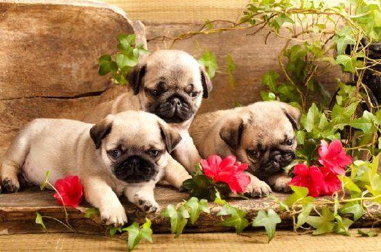 JSPuzzles - puzzles en línea - Pug Puppies and Flowers