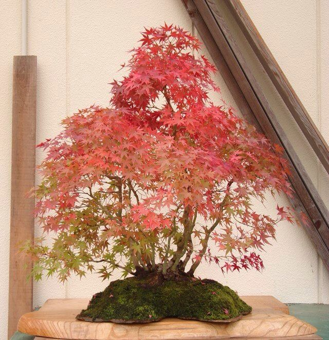 129 Best Images About Imperial Bonsai On Pinterest Trees The Philippines And Bonsai Trees