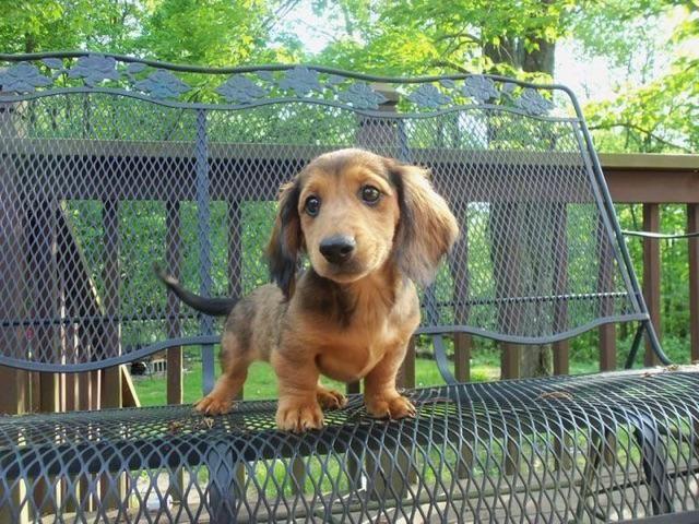 Meet our new dachshund puppy Romeo!