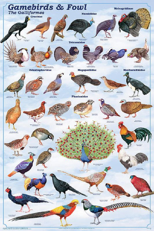 Laminated Gamebirds & Land Fowl Identification Poster Chart by Feenixx Posters This is an order / clade of heavy-bodied ground-feeding birds. It includes turkey, grouse, chicken, quail, ptarmigan, par