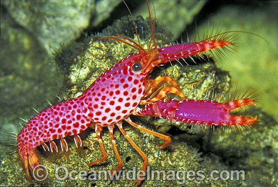 17 Best images about Exotic Salt Water Shrimp&Lobsters on Pinterest | Pistols, Spanish and Animals