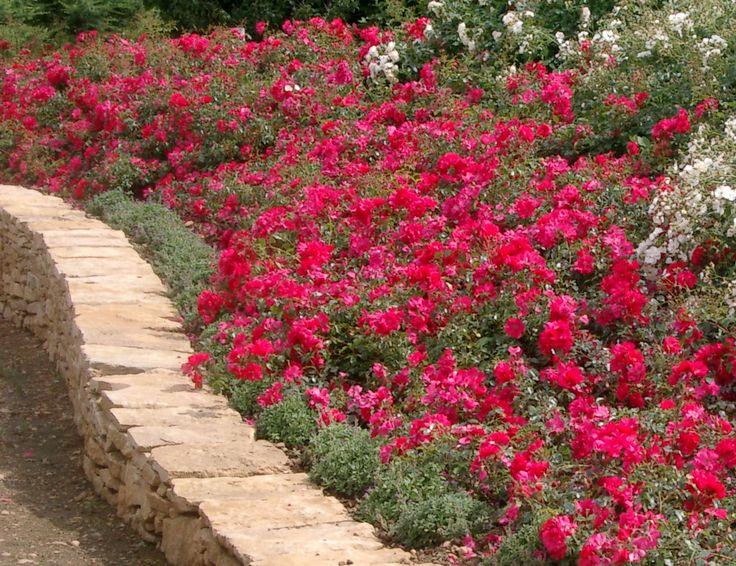 plantation talus vivaces | Conseil d'utilisation des Rosiers | Roseraie Laperriere