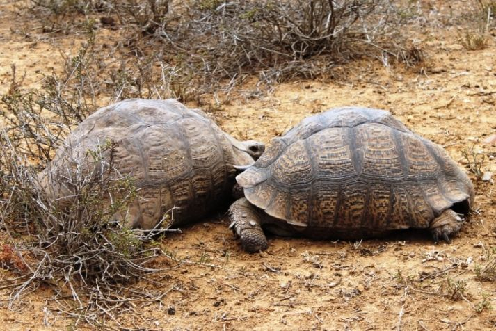 Battling tortoises pushing each other to the point of exhaustion. They were trying to flip each other over.