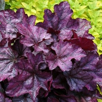 Heuchera 'Plum Royale' - Plum Royale Coral Bells for the shade garden I am planning for a client. michaelmuro.com